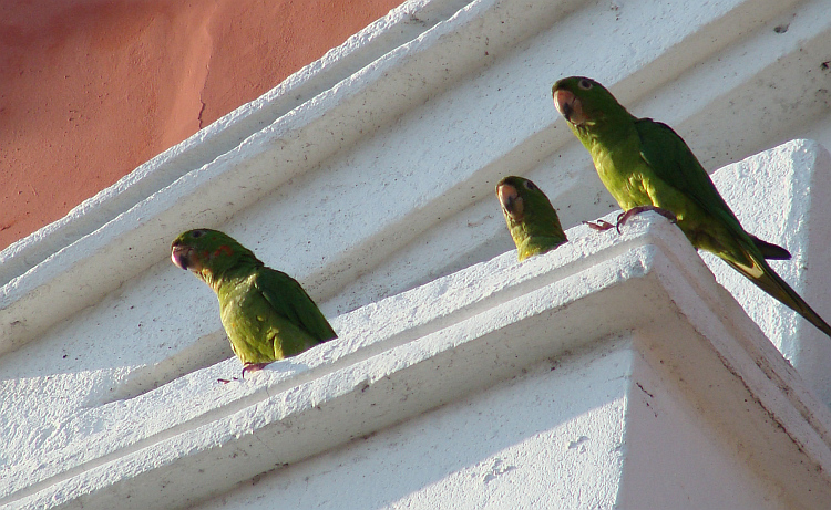 Parrots in the streets of Granada