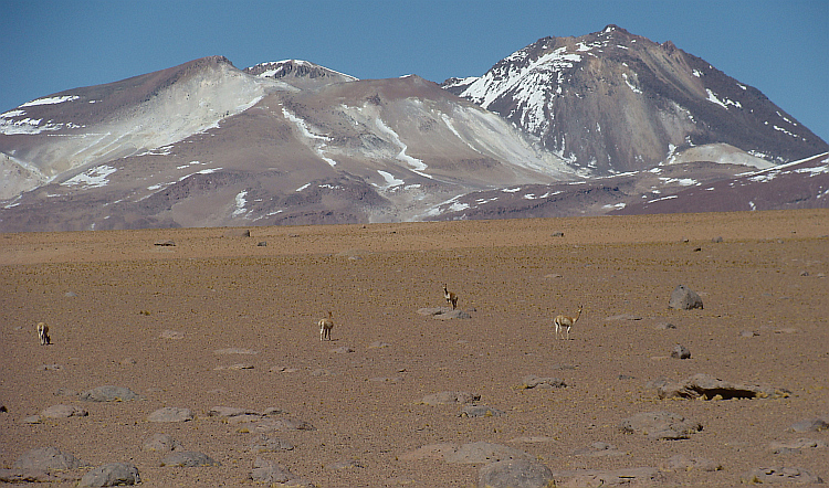 Vicuña's on the pass between the Laguna Chalviri and the Lagunas Verde and Blanca