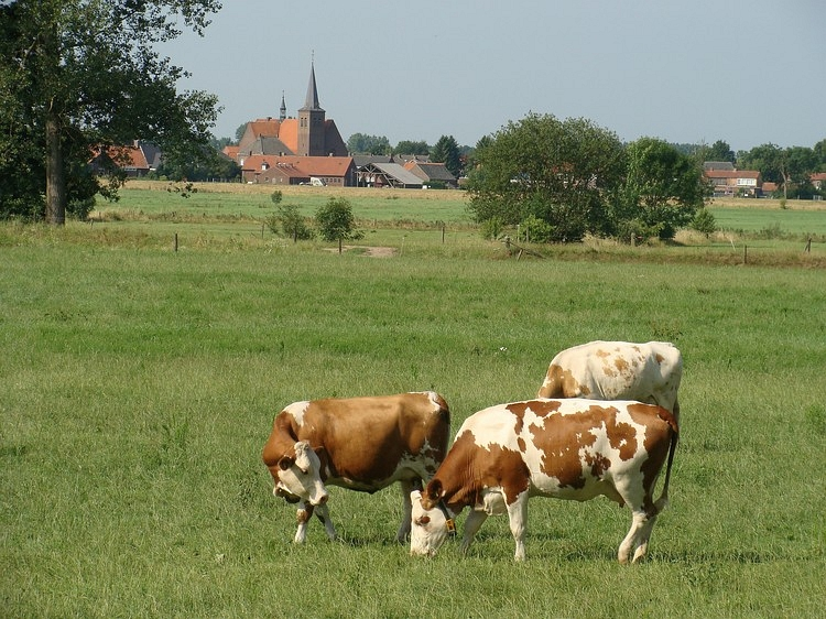 Grazing cows in the valley of the River Maas, Limburg, Holland