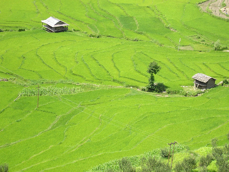 Rice fields in the Kullu Valley