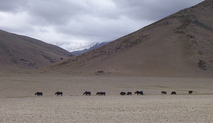 Yaks on the Morey Plains