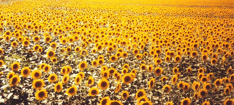 Sunflowers!! Tuscany