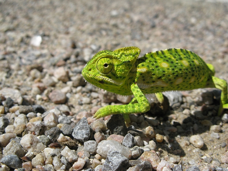 Chameleon on the road